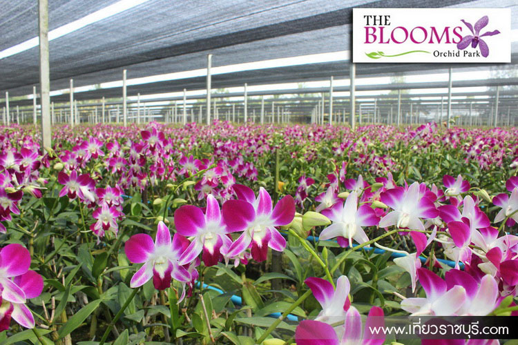 The Blooms Orchid Park Ratchaburi410